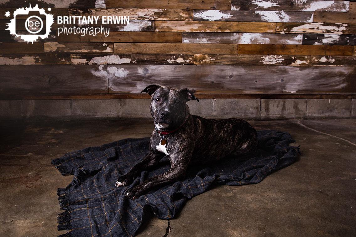 Indianapolis-pet-pitbull-boxer-mix-dog-breed-photographer-portrait-studio.jpg