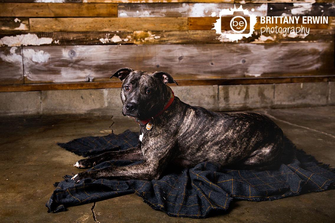 Indianapolis-pet-pitbull-photographer-box-mix-breed-blanket-with-barn-wood.jpg