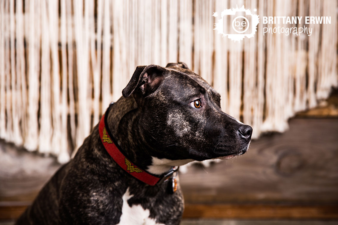 Indianapolis-pitbull-boxer-mix-macrame-background-portrait-photographer-pet.jpg