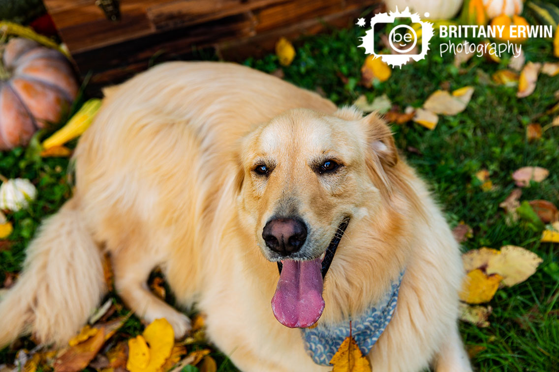 Indianapolis-fall-pet-photographer-golden-retriever-dog-happy-boy.jpg