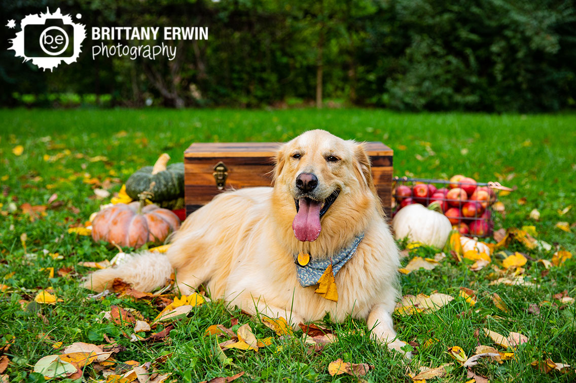 Indianapolis-pet-photographer-golden-retriever-fall-pumpkin-chest-outside-leaves.jpg