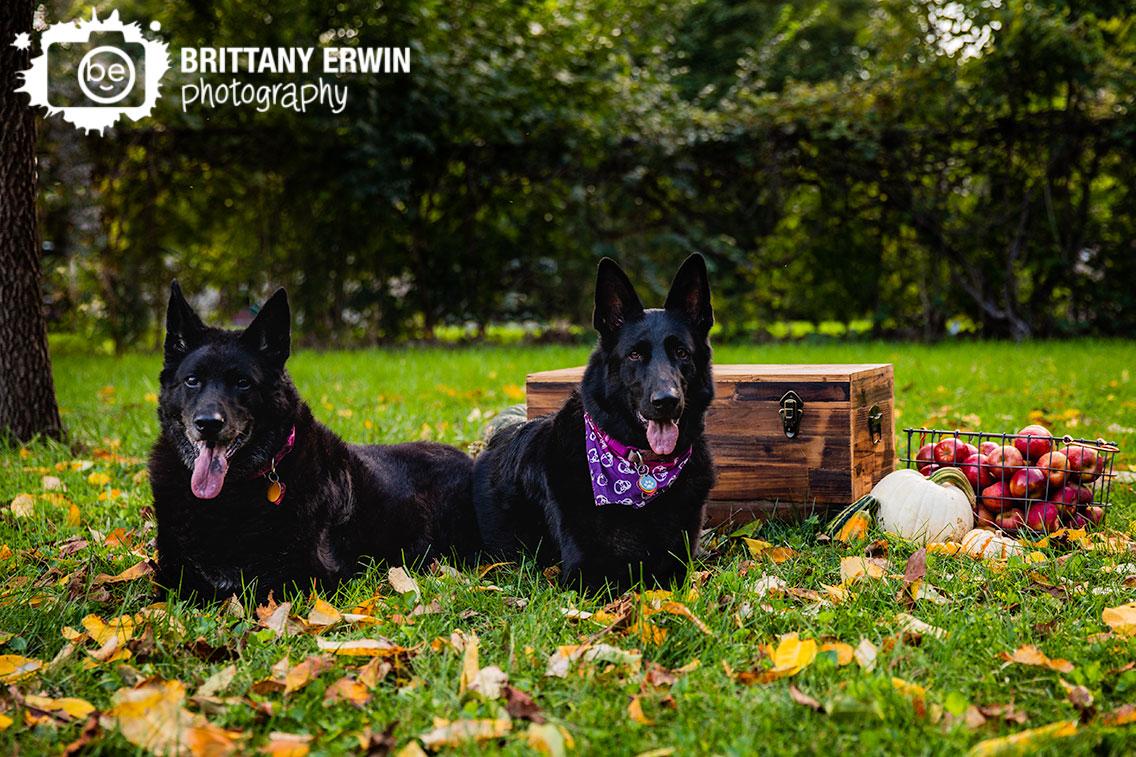 Indianapolis-pet-photographer-fall-leaves-mini-session-black-german-shepherd-skull-bandana.jpg