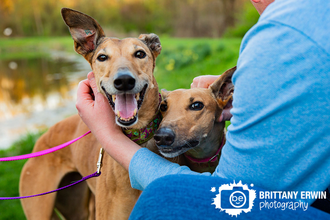 Indianapolis-pet-photographer-family-greyhounds-retired-dogs.jpg