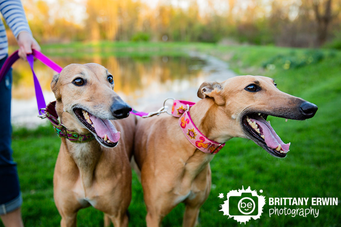 Indianapolis-family-portrait-photographer-greyhound-retired-dogs-pair.jpg