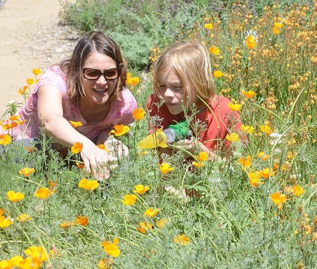 7-ucanr.edu-California Poppies-Honey Bee Haven-The Sibbett Group-ucanr.edu.jpg