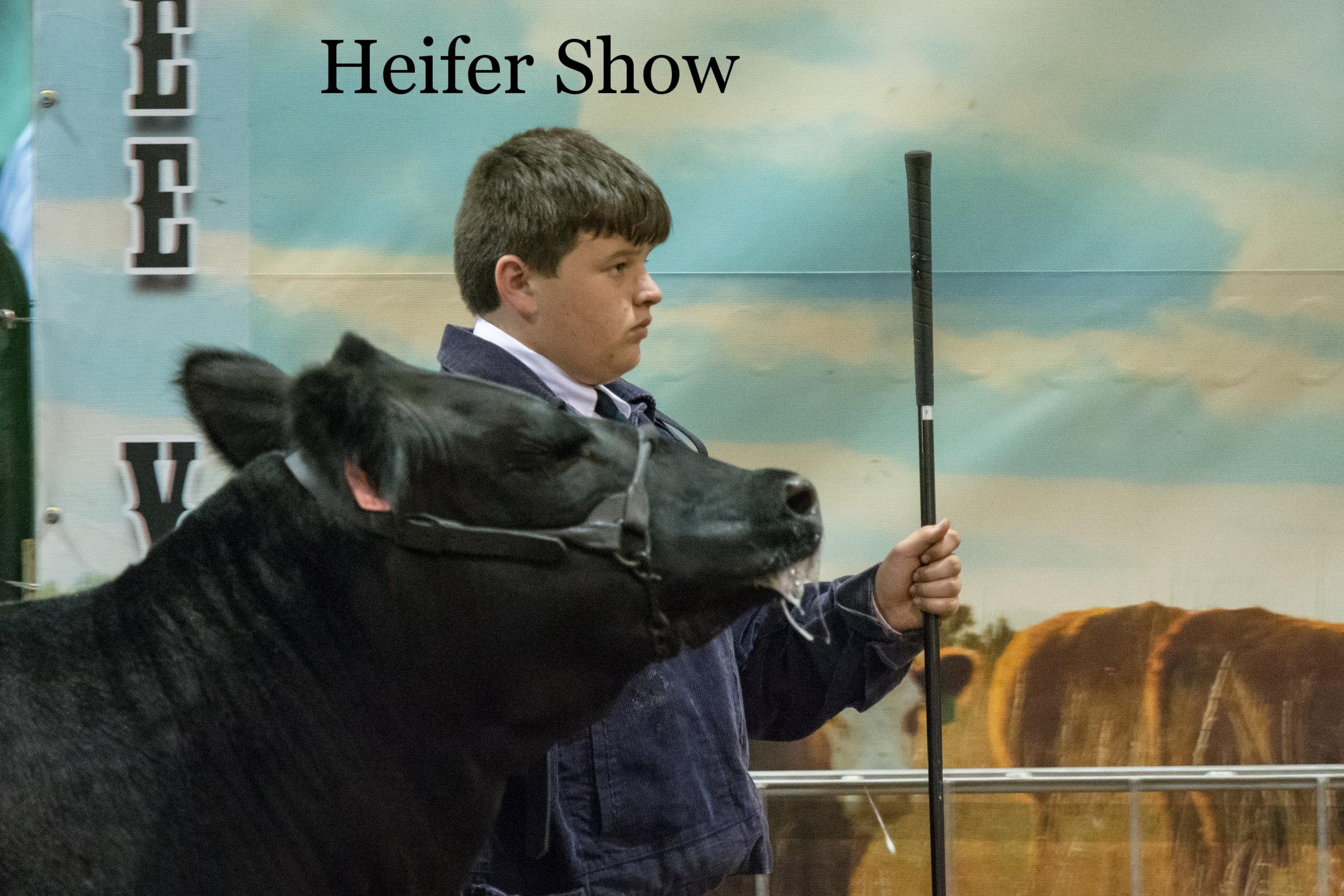 HCF2018 Heifer Show