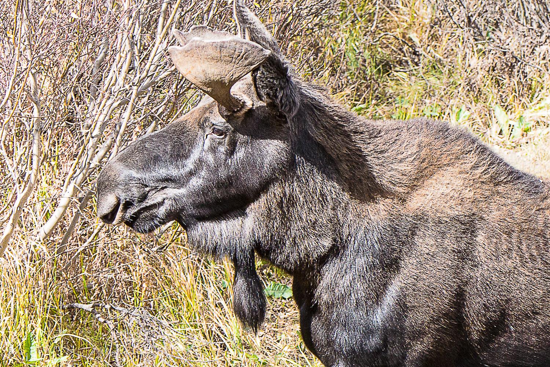 9_23_18 Moose (web)-2-3.jpg