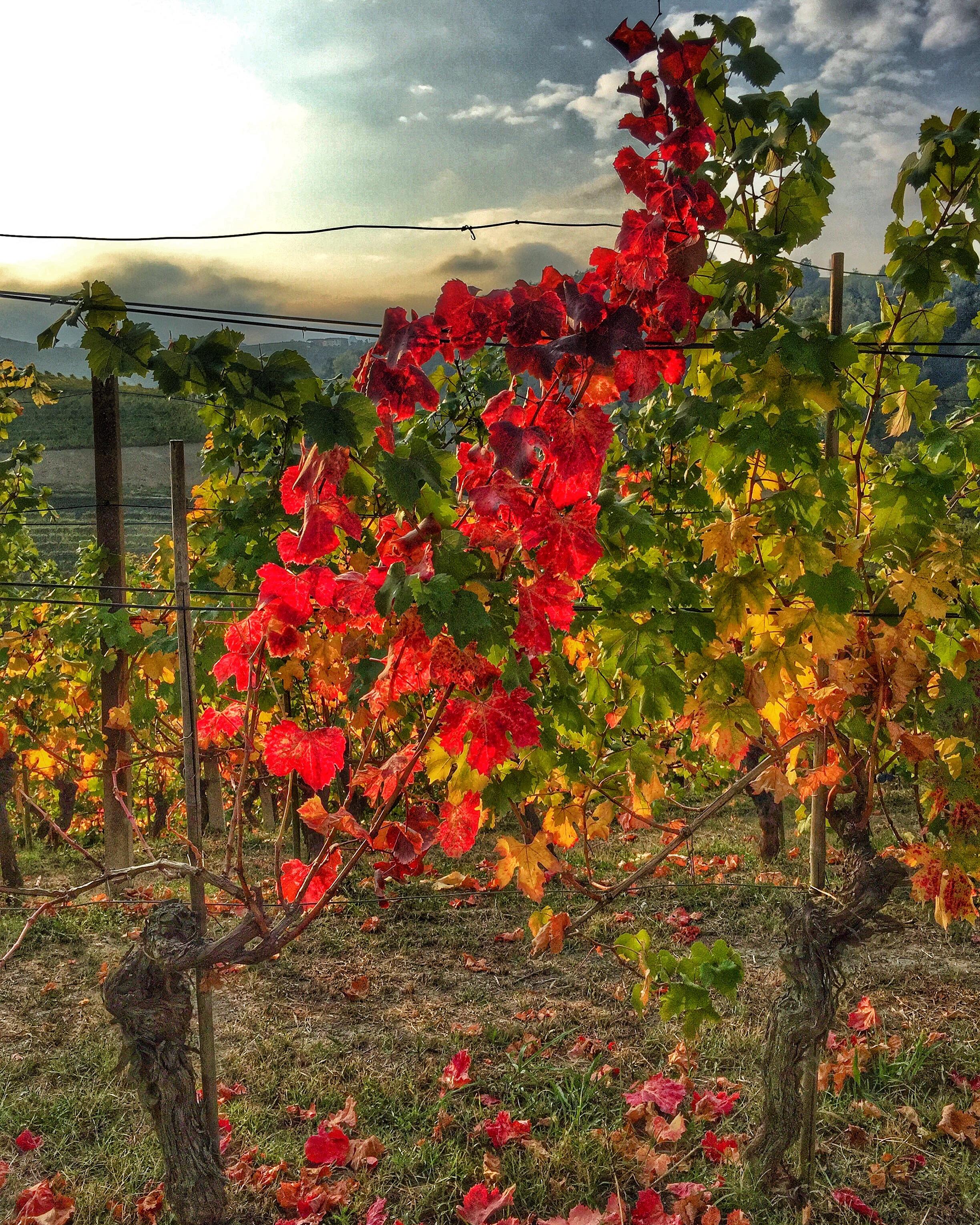 SALVANO vineyard photo.JPG