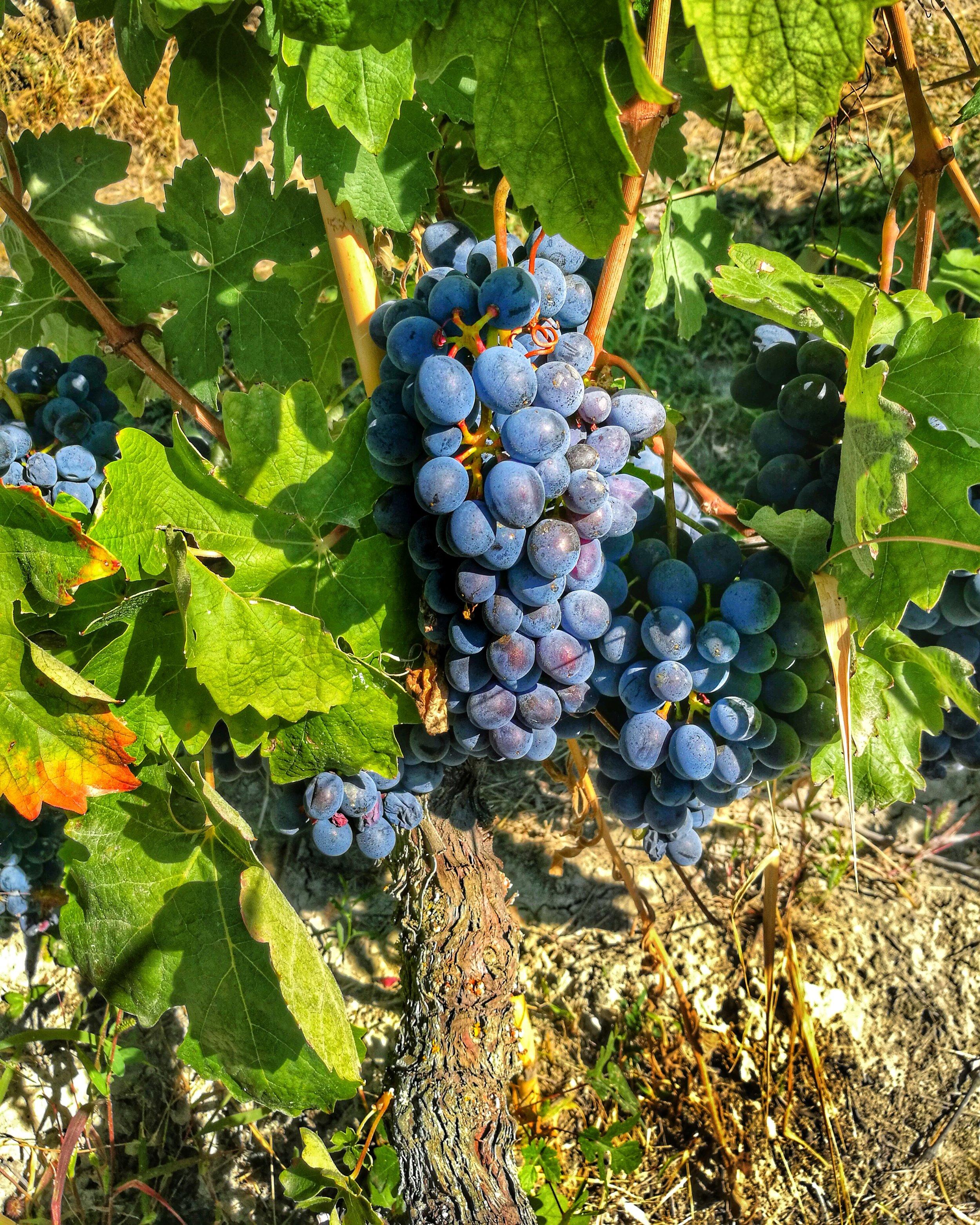 SALVANO red grape photo.JPG