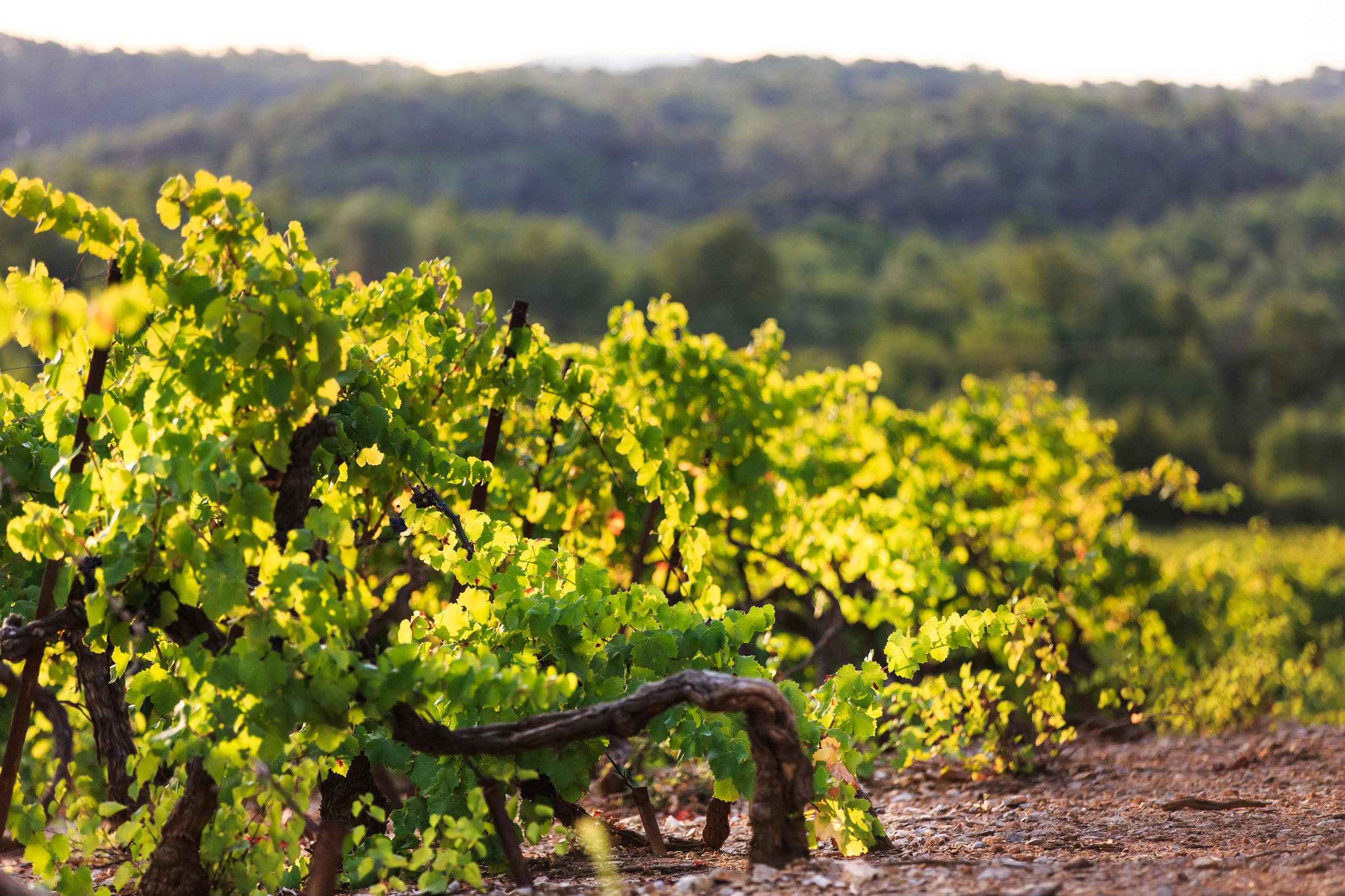 Chateau de brigue vineyard photo 2.jpg