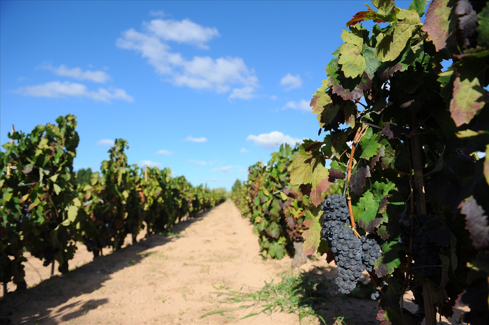 CANTINE SARDUS VINEYARD PHOTO.jpg
