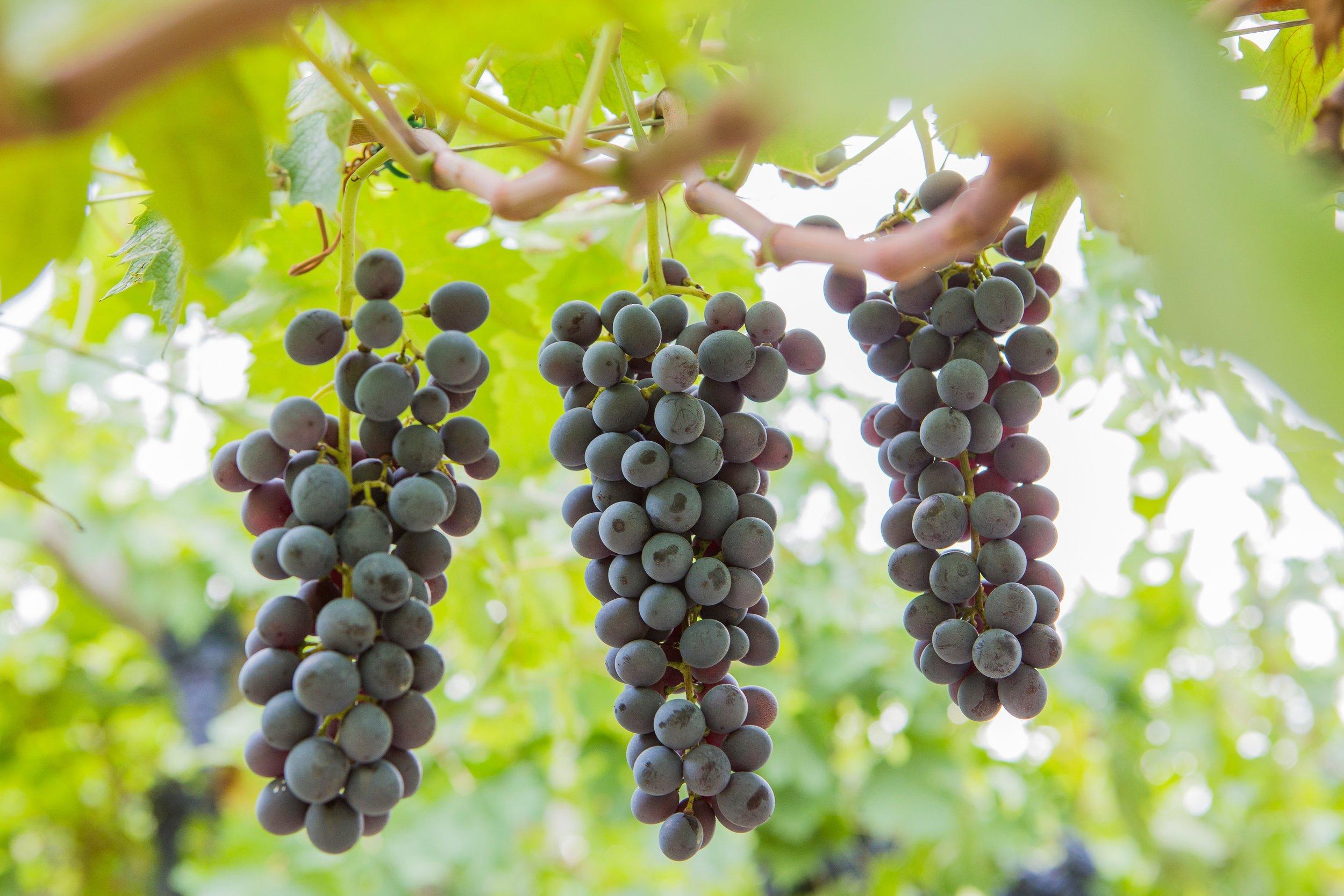 Begali grapes photo.JPG
