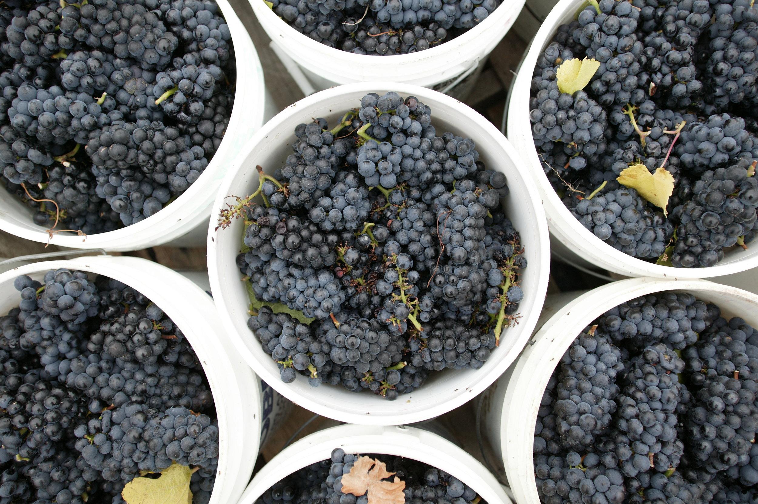 CGT - Grapes.jpg