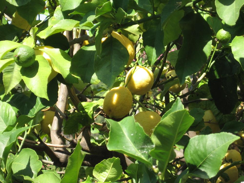 Photo Lemons.jpg