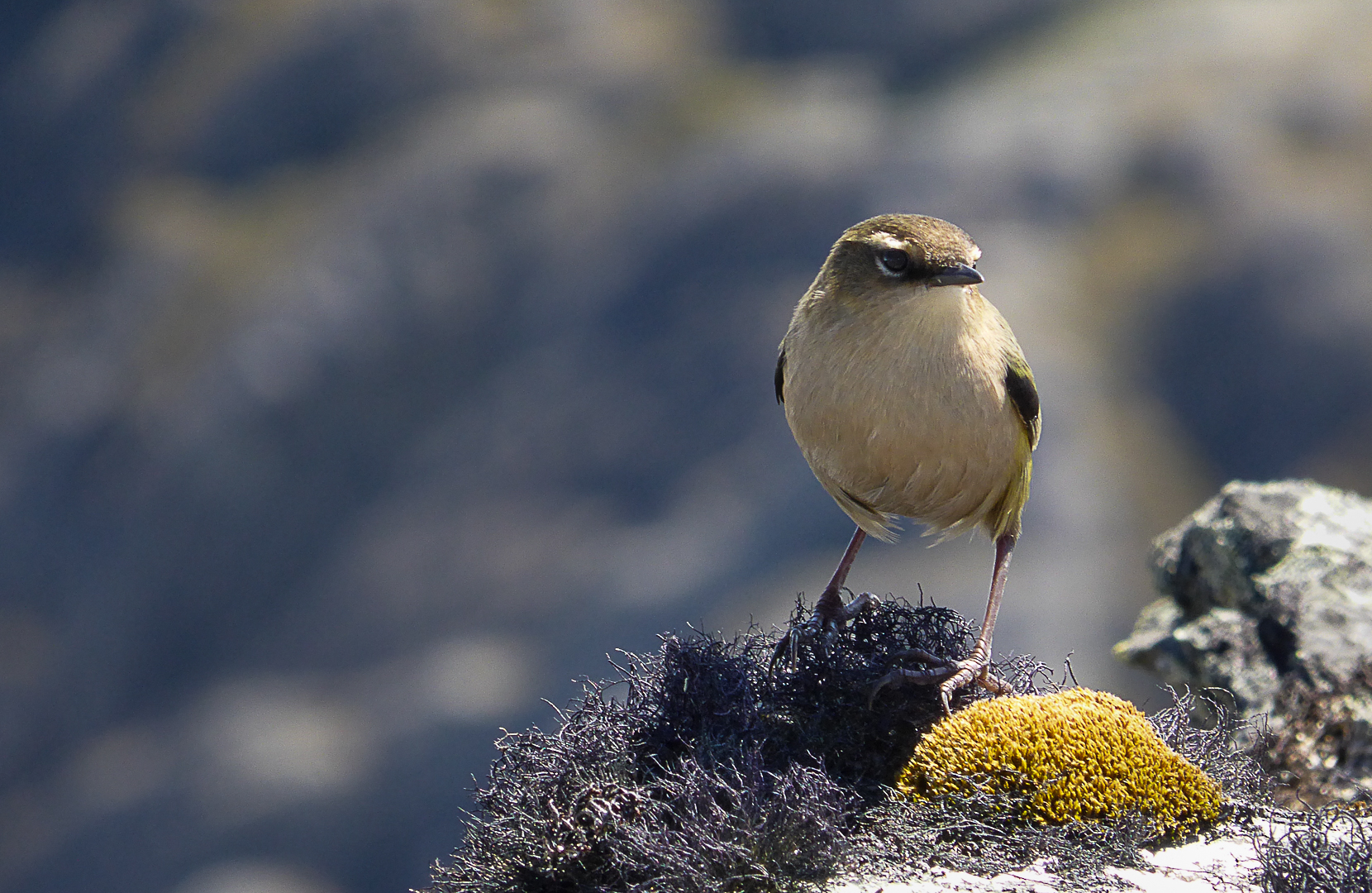 Rock Wren - The facts of the missing rock wren. Rock wren are small, reclusive birds found in small pockets of the South Island's high country. Their limited flying ability and nesting on the ground makes them easy targets for predators such as rats and stoats.Photo - Phil Green