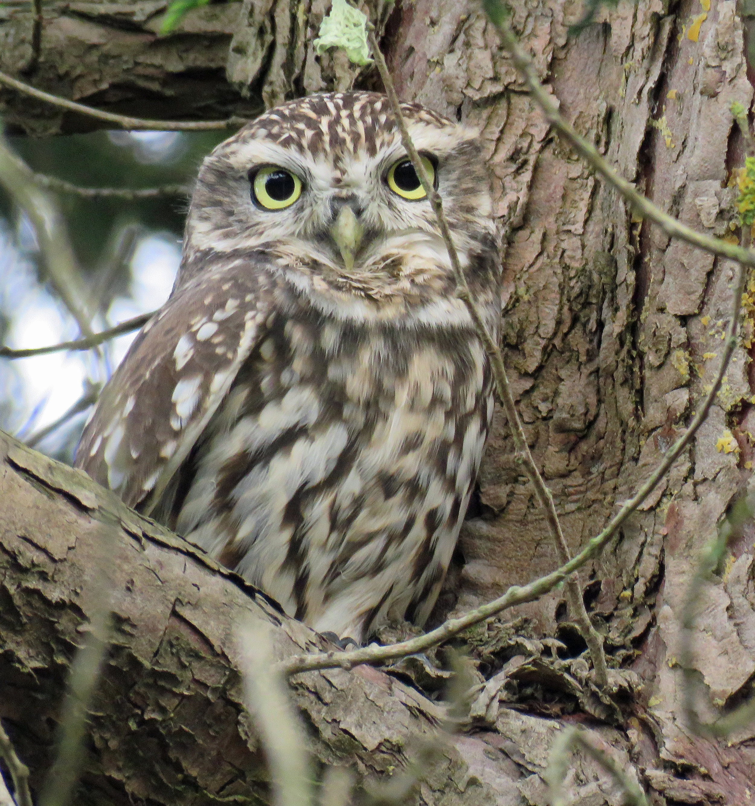 WWT -- Colin's owl photo 18 June 2019.jpg