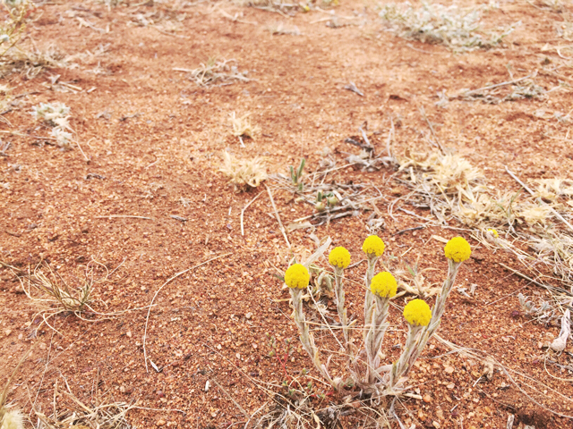 Girl in the Pjs Central Australian Billy Buttons