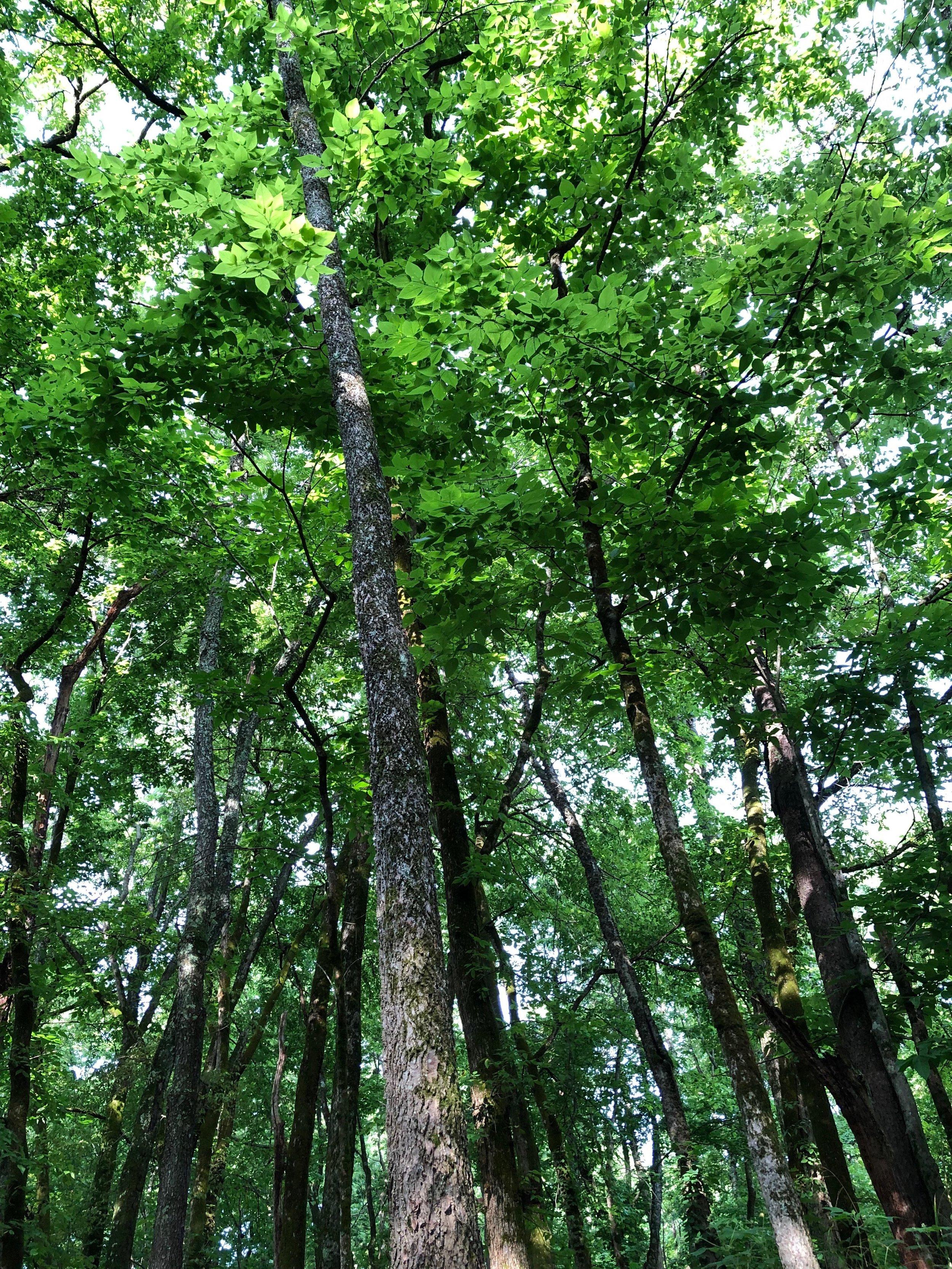 tall elm.jpg