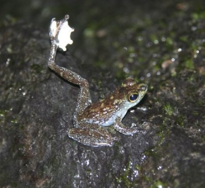 - The Bornean rock frog (Staurois parvus) is one of many anuans that uses foot-flag gestures.