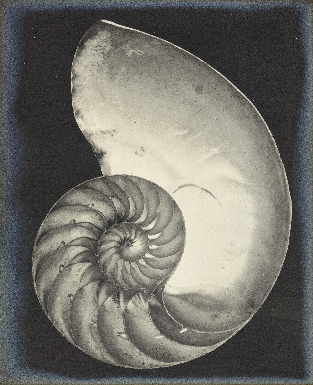 Edward Weston,  Nautilus Shell , 1927