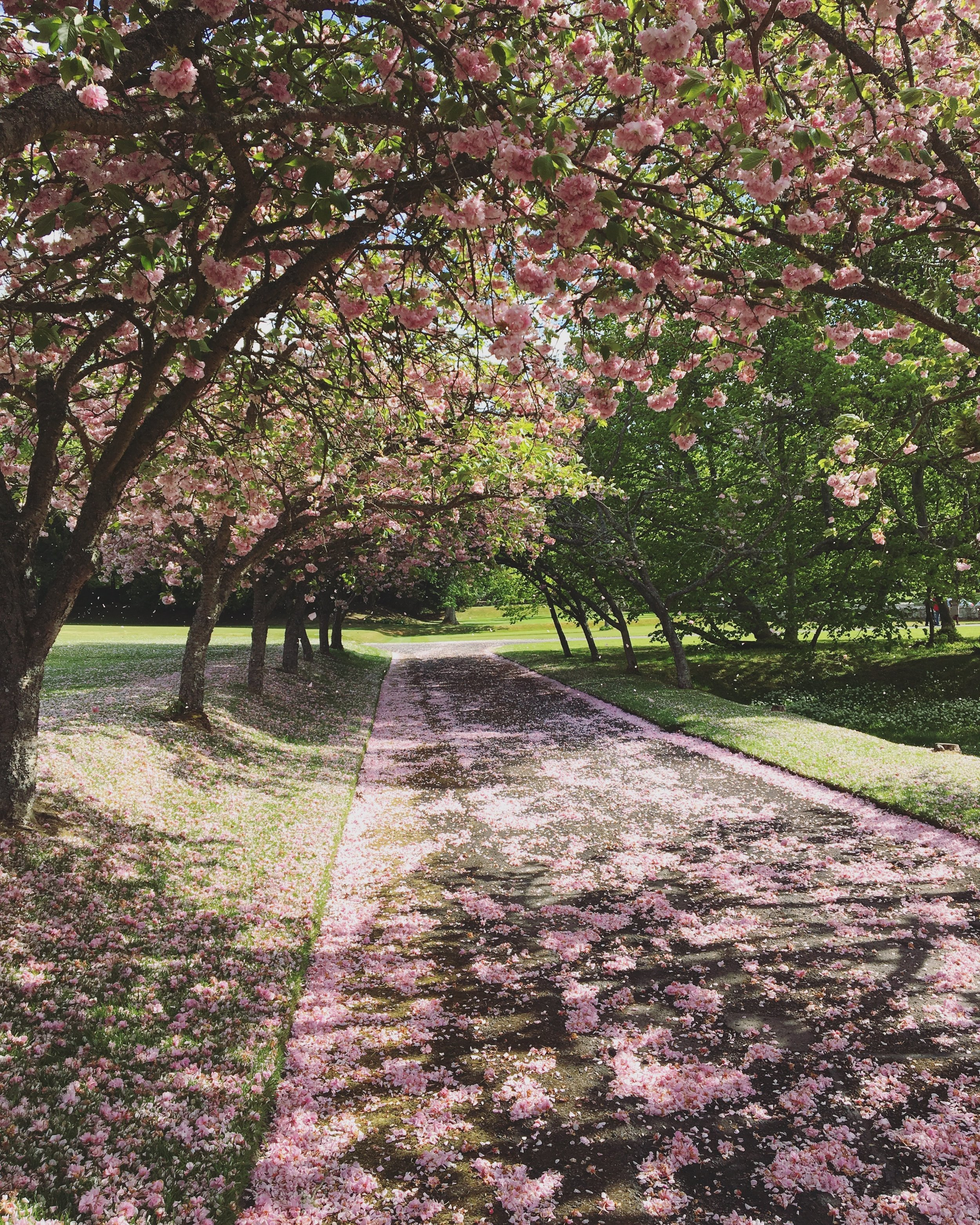 The blossoming trees at Scone Palace.