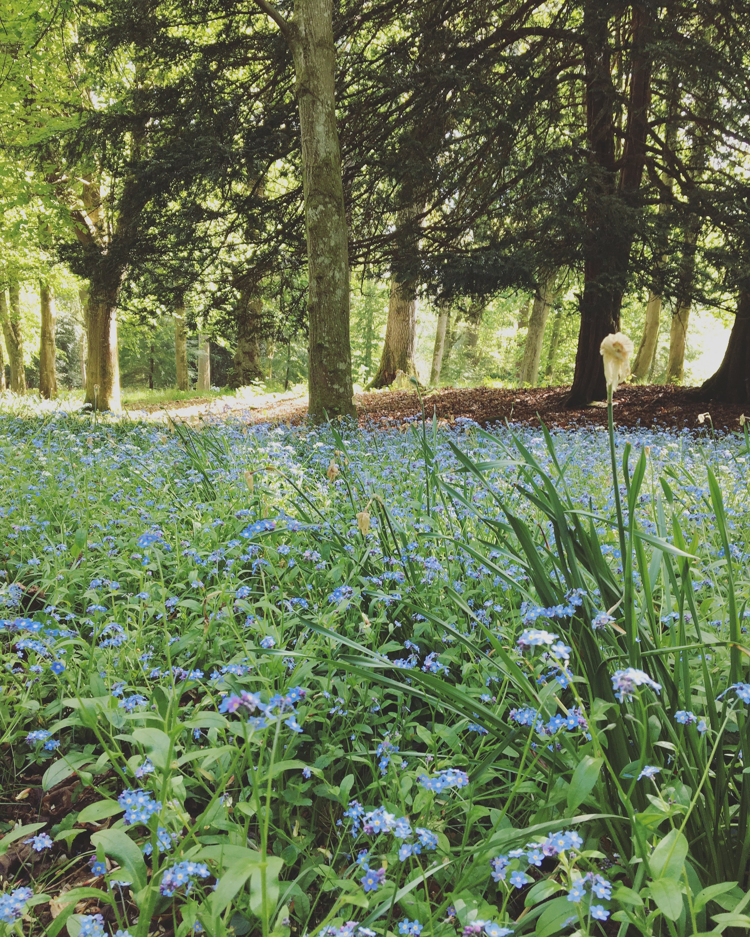 A carpet of forget-me-nots at Scone Palace.