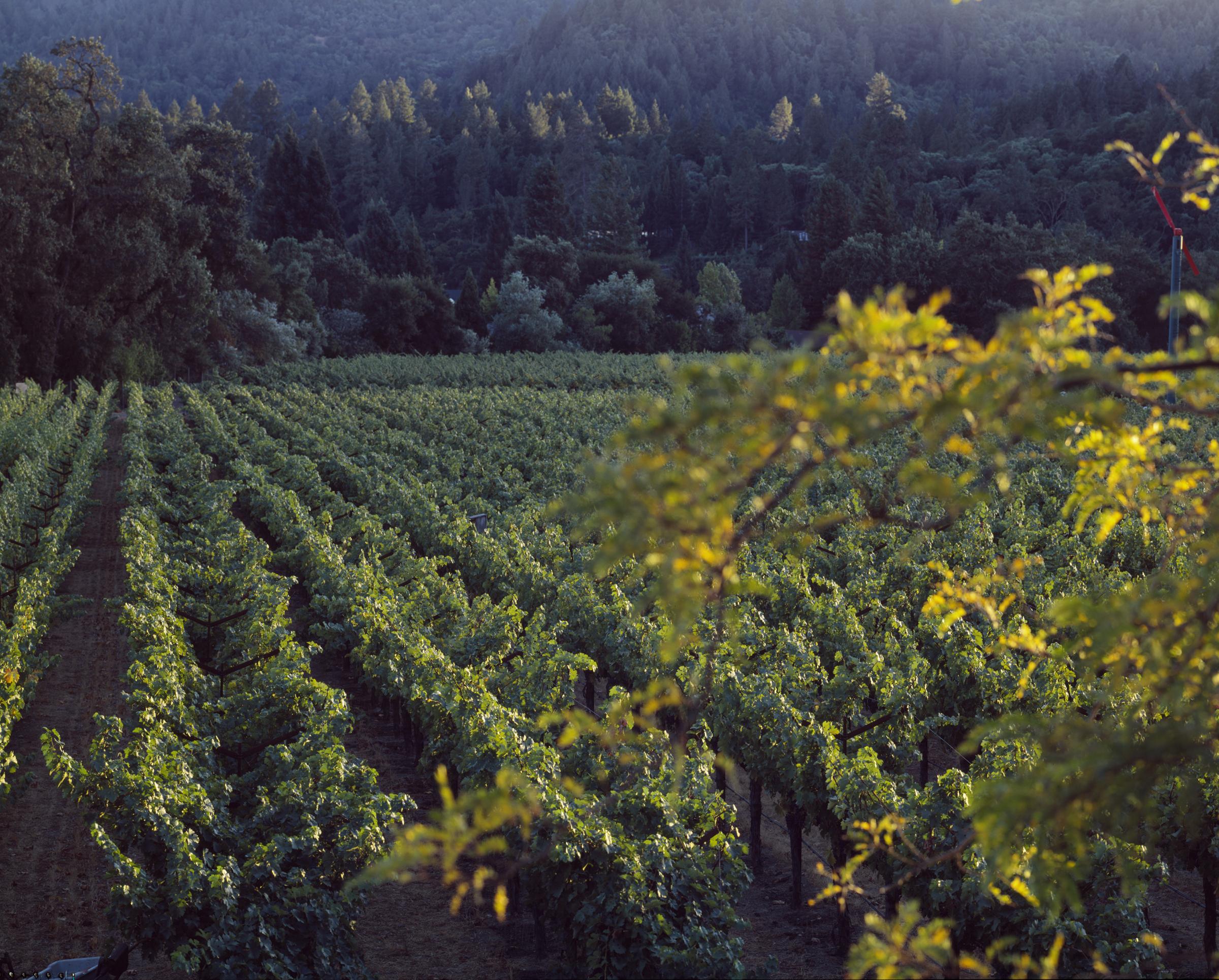 Spottswoode-Vineyard-Spring-Mayacamas-2.jpg