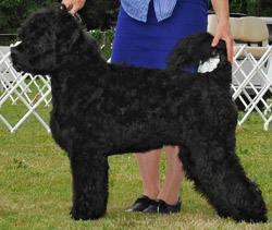 CKC CH Jewel de Agua Sam I Am Helm's Alee CGC TD WWD TKI BROM - 2nd Place Bred by Exhibitor 2013 National SpecialtyNeutered