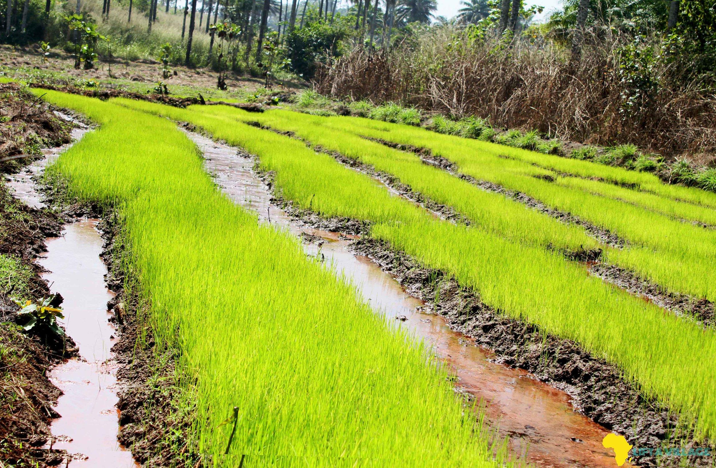 2018: Rice swap in Maforki, Port Loko- Northern Sierra Leone…