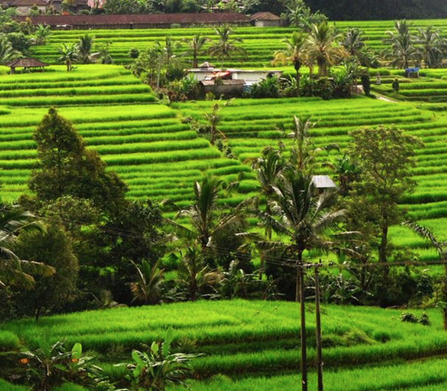 Pupuan - Pupuan is roughly the same area as Jatiluwih, the farming village of Pupuan features beautiful rice terraces, together with cocoa, clove and coffee plantations.