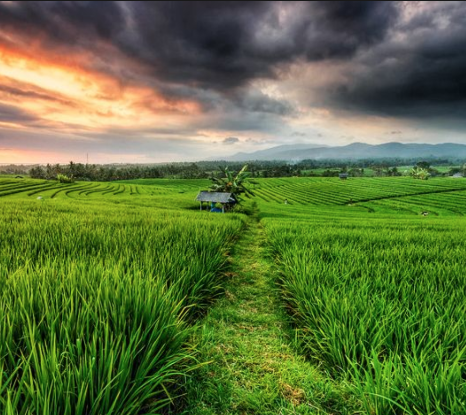 Soka rice terrace - The rice fields of Soka village, near the West Bali coast, are among the island's few that are low-lying and close to the beach.