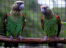 Cape Parrot (female)