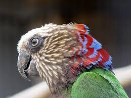 Hawkhead Parrot