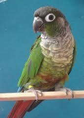 Green Cheek Conure (Normal)