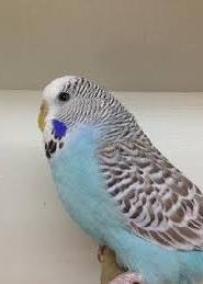 English Budgerigar Parakeet