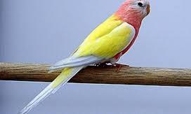 Bourke's Parakeet (Lutino)