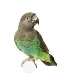 Meyers Senegal Cross Parrot
