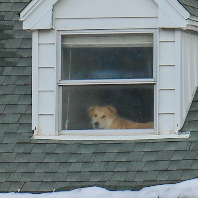 The dog across the street always stares out the window at us, longing to be outside. He reminds us of the doge meme doggo. 😂