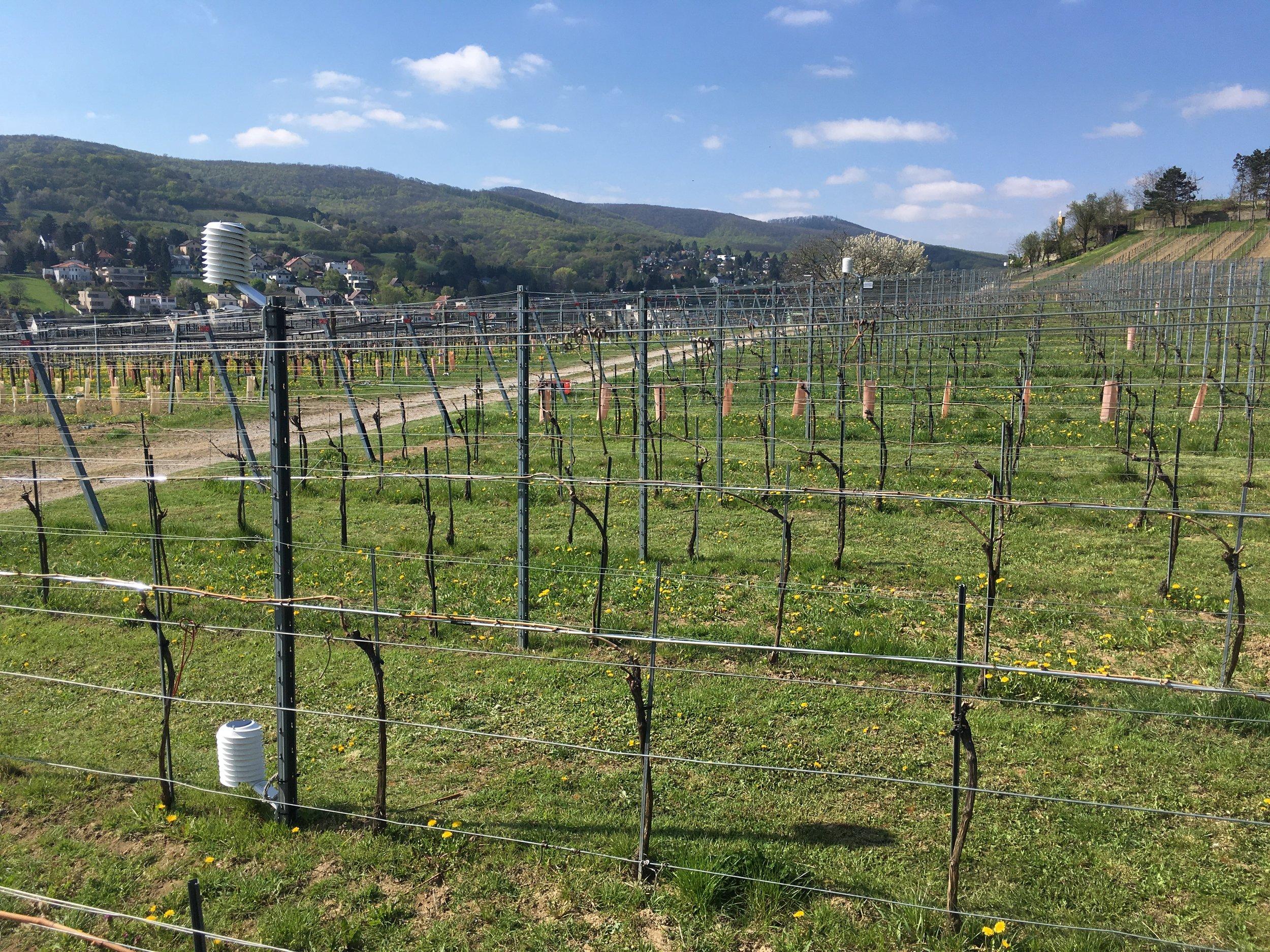 MeteoHelix weather stations monitoring ground frost in precision viticulture at the Höhere Bundeslehranstalt school in Klosterneuburg near Vienna, Austria.