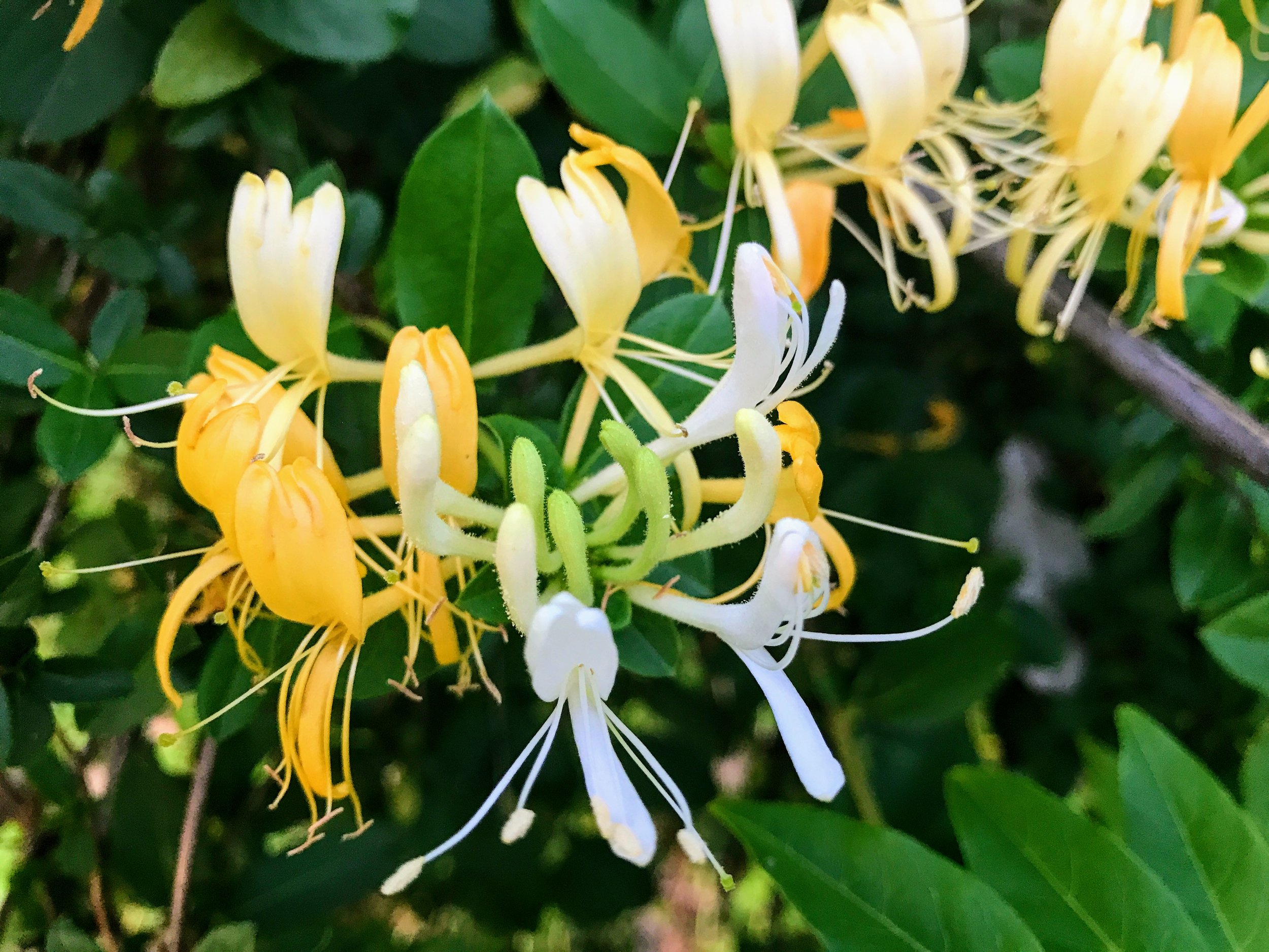 First taste of honeysuckle for the year