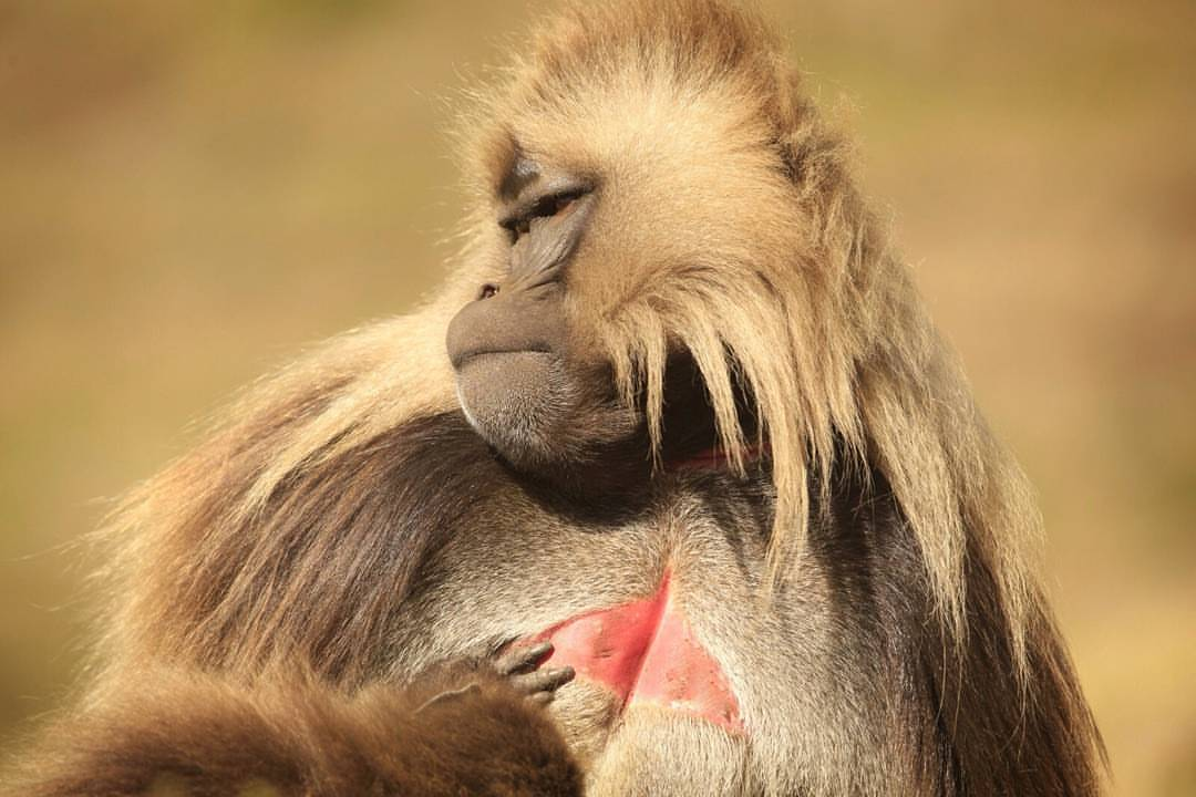 Alpha Male Baboon. Chango-leon.