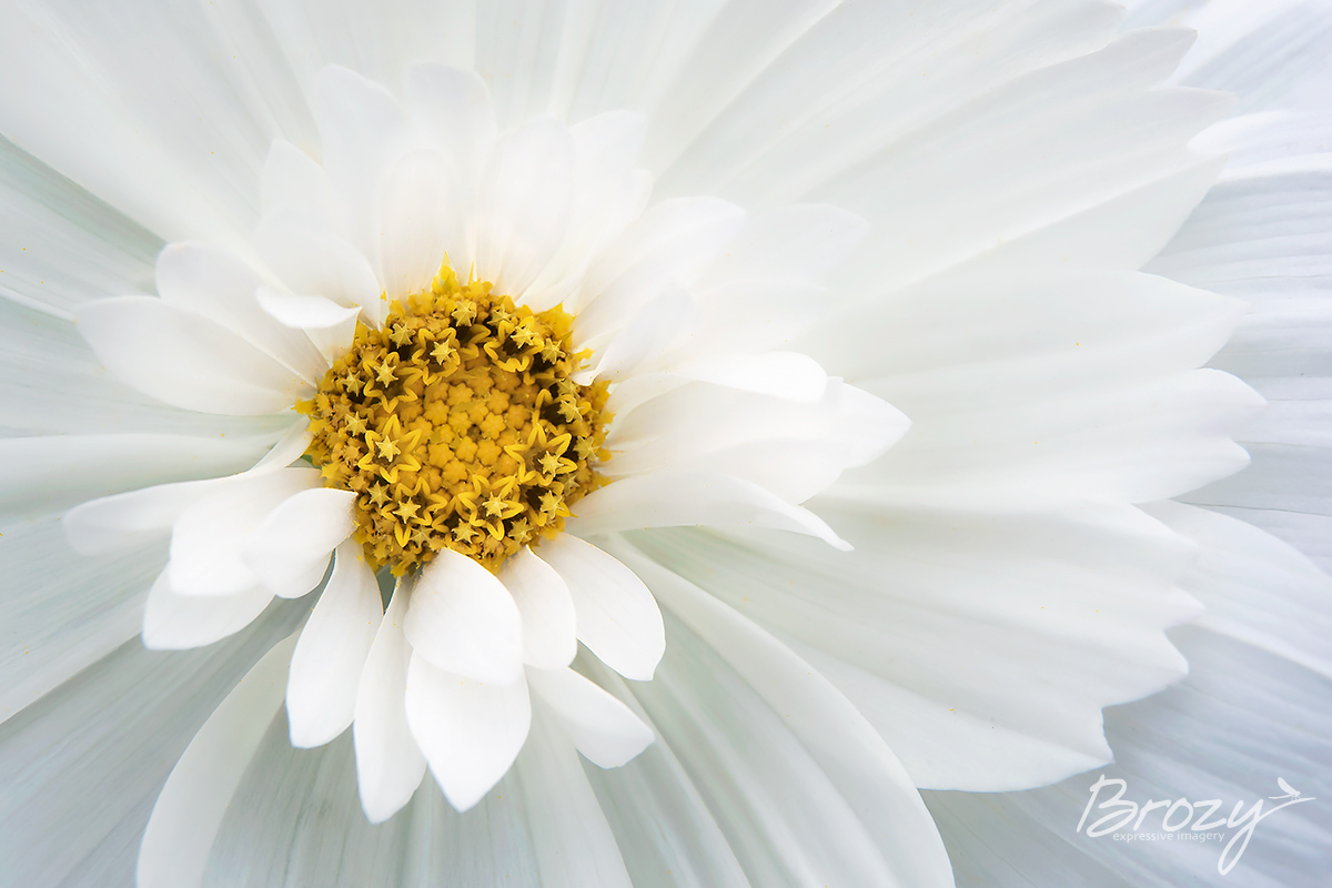 cosmos in white