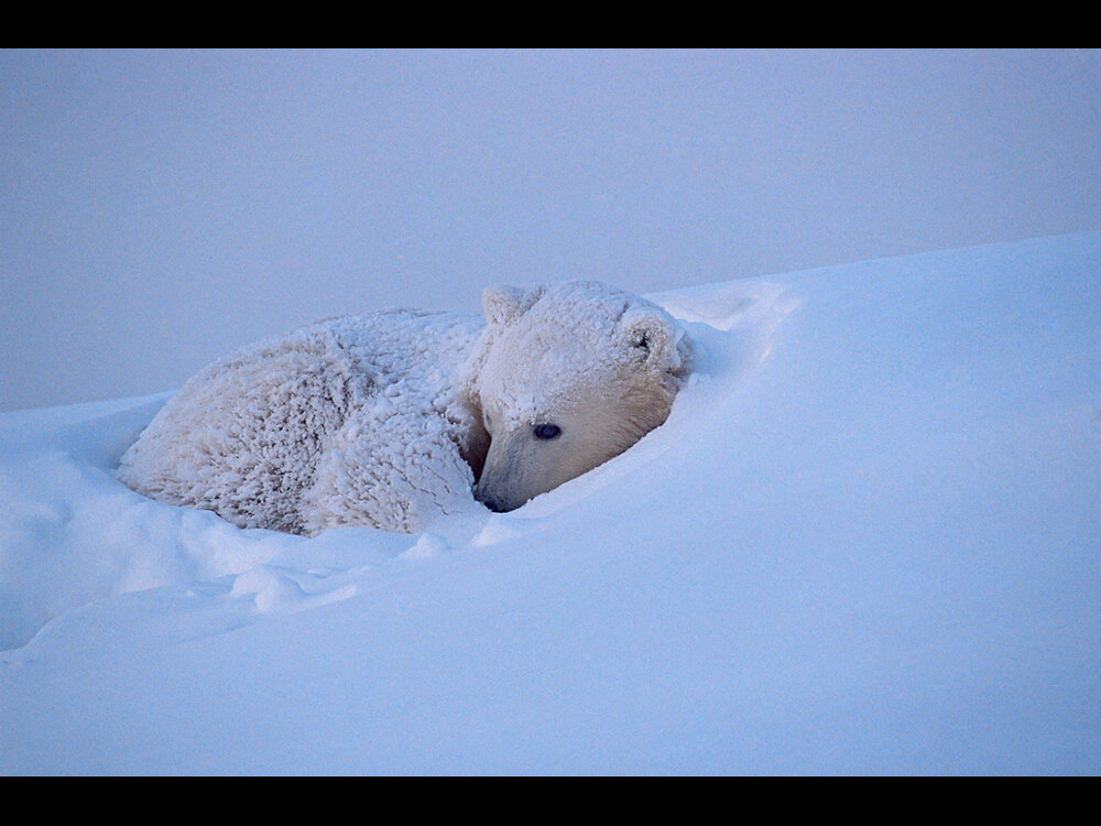 Polar Bear cub curled in snow - credit Sue Flood.jpg