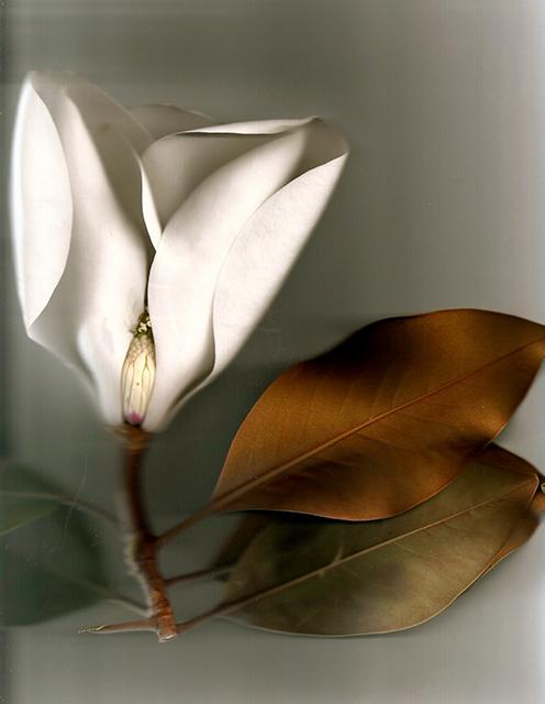 Magnolia Bud_2 2@0,5x.jpg