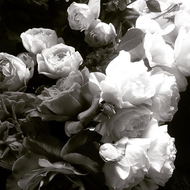 Haven't been posting awhile but had to share the incredible haul from my garden this morning. A sink full of beauties. There are so many and they're so heavy they're breaking the stems. Thank you Ma Nature. #floralexplosion #roses🌹 #somanyroses #rosesfrommygarden #floralphotograph #floralphotographyart #blackandwhitefloralphotography