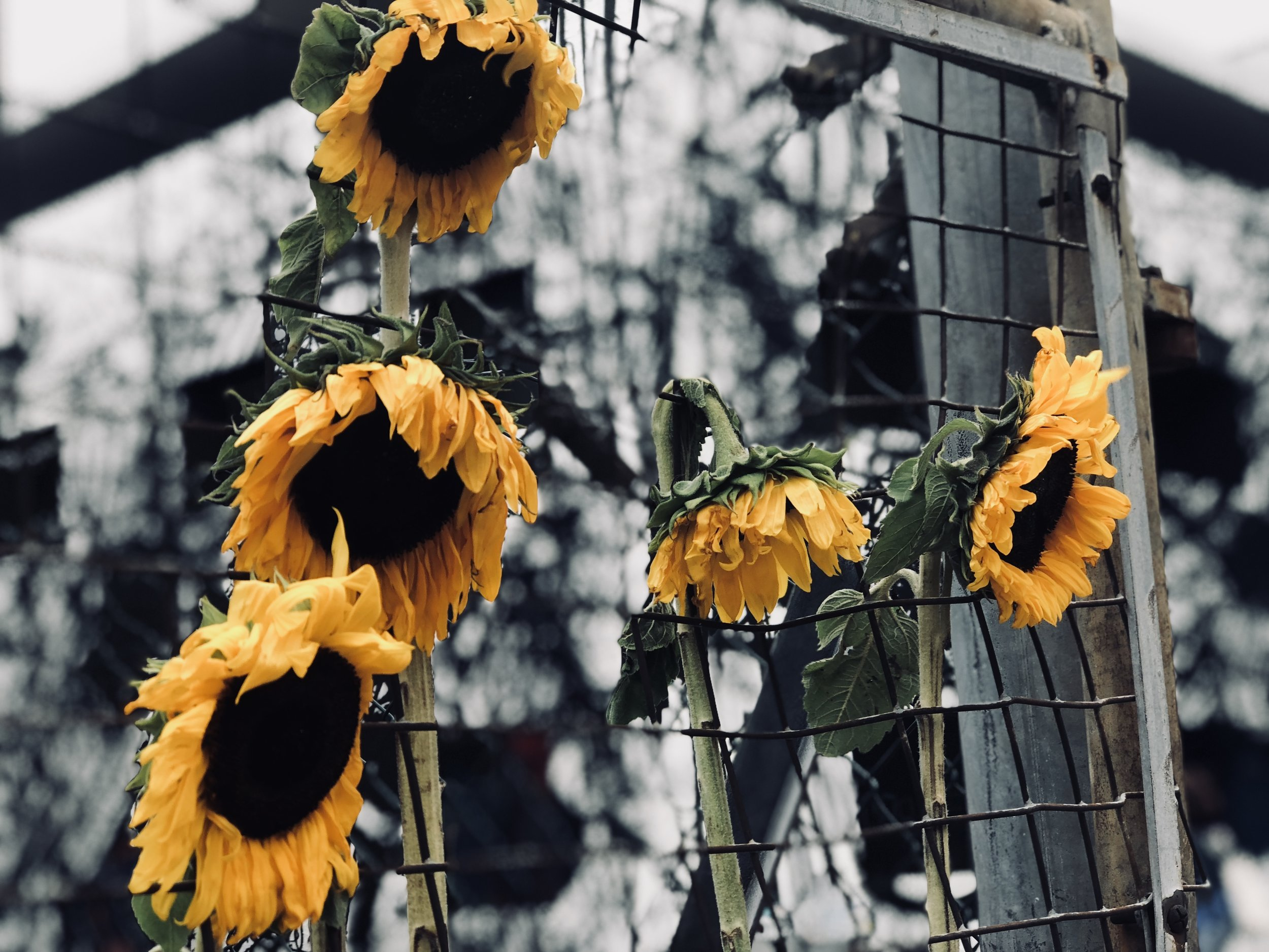 Even the Sunflowers have Down Days