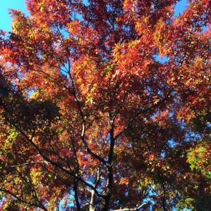 Fall Red Oak.JPG