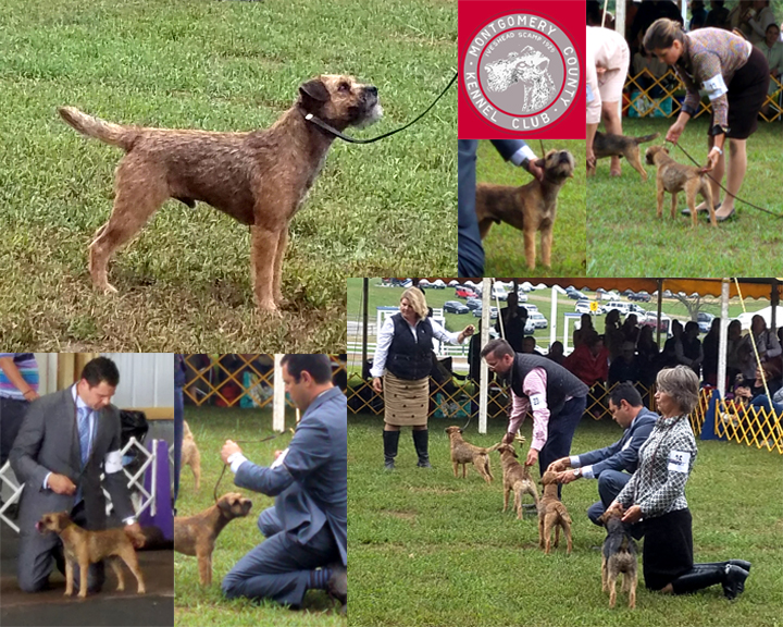 "Jackson (GCHB Loch Cu's Jackson at BriarKeep) looked wonderful and showed his best at the Montgomery ""cluster"" shows in PA. He is handled by Leonardo and Jody Garcini."