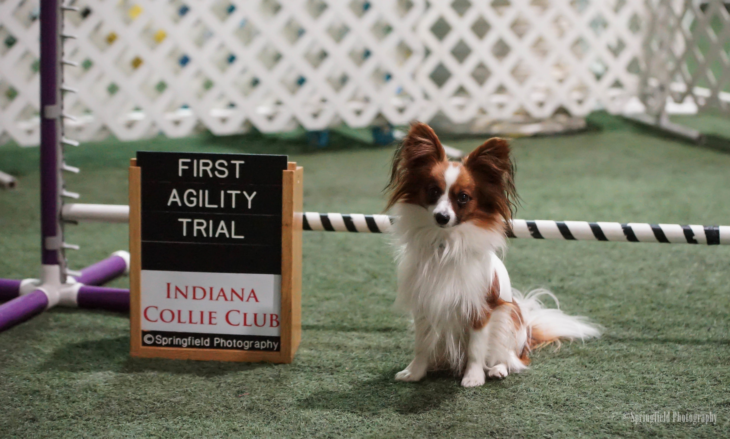 Sammy's very first agility trial in January of 2017!