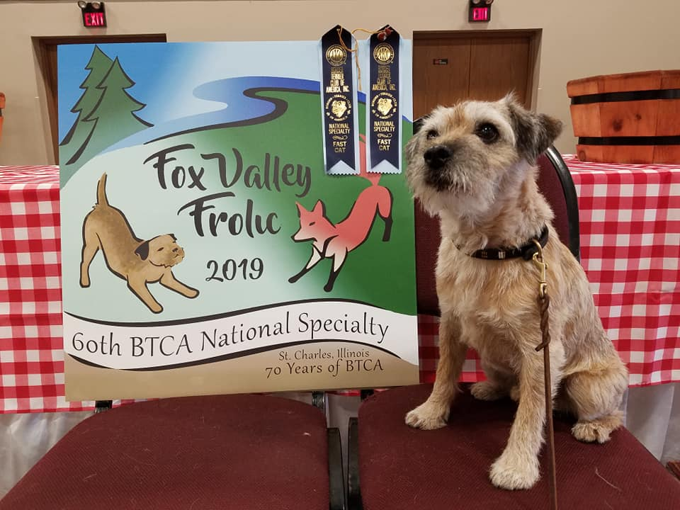 Keifer with his qualifying ribbons from the Fast CAT trial at the 2019 Border Terrier Club of America National Specialty.